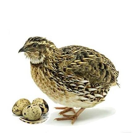 Plateau alvéolaire de 18 œufs de caille
